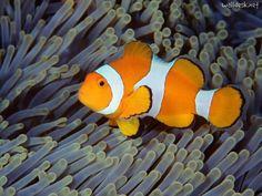 False clown fish found near Bali