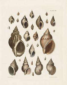 1827 Captain Thomas Brown Conchology Great Britain & Ireland Shell Prints