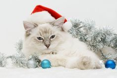White Christmas - Cats Wallpaper ID 1289012 - Desktop Nexus Animals Christmas Kitten, Christmas Animals, Santa Christmas, White Christmas, Christmas Ideas, Santa Claws, Diy Cat Tree, Days Before Christmas, Cat Posters