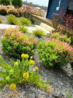 Native Australian shrubs in the front yard