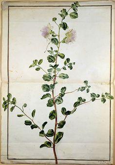 heaveninawildflower:    Floral study ( watercolour) from Karlsruher Tulpenbuch 1730.  Wikimedia