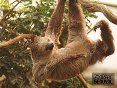#Paresseux à deux doigts - ZooParc de Beauval