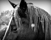 Rescued Horse in the Snow, Black and White Photo on Canvas