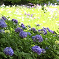 Successful hydrangea transplanting requires planning and care.