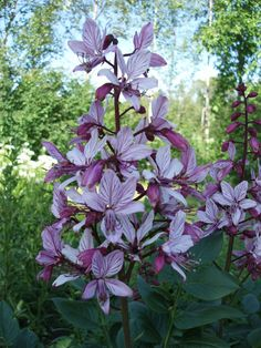 Mooseksenpalavapensas:  Dictamnus is a genus of flowering plant in the family Rutaceae, with a single species, Dictamnus albus. It is known variously as Burning-bush, False Dittany, White Dittany, Gas-plant and Fraxinella. It is a perennial herb, native to southern Europe, north Africa and throughout Asia.