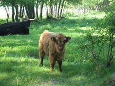 Highland cattle on Jurmo island