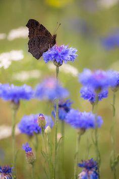 Inachis io  / European Peacock on Cornflower / Tagpfauenauge auf Kornblume ©   Bernd Flicker | Google+