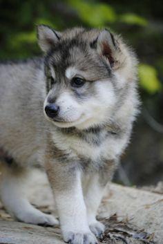 Tamaskan Club of America™- Tamaskan Puppies