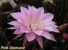 "Echinopsis Schick Hyb.""Pink Diamond"" 4x4 cm, selten"