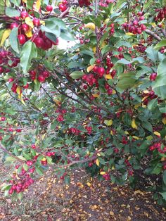 Crabapples ready to make jelly.