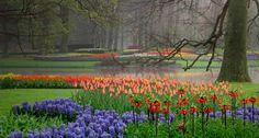 Jardín de tulipán y jacinto, Países Bajos - Hyacinth and tulip garden, Netherlands.