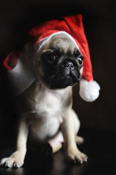 Christmas Pug (Photo by Lu Donfer) Merry Christmas Card Puppy Holiday Dogs Santa Claus Dog Puppies Xmas Pugs