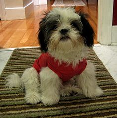 """A shih Tzu, aren't they cute! how to take care of a shih tzu in 9 steps, LOVE number 5 and the """"holier than thou attitude"""" yep that would be my Boo Radley!"""