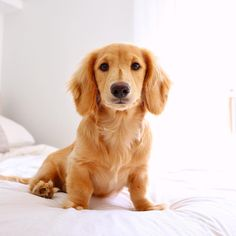 Receive great suggestions on dachshunds. They are accessible for you on our web site. Dachshund Funny, Dachshund Clothes, Dachshund Gifts, Dachshund Puppies, Dachshund Love, Cute Puppies, Dogs And Puppies, Cream Dachshund, Dapple Dachshund