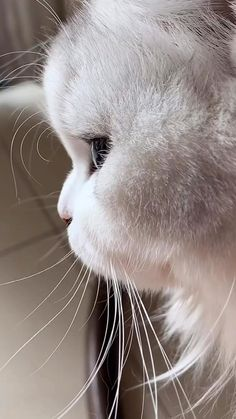 Super Cute Animals, Cute Baby Animals, Funny Animals, Funny Pets, Kittens Cutest, Cats And Kittens, Cute Cats, Large Cat Breeds, Gato Gif