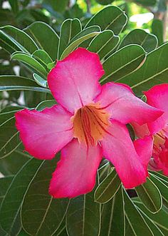 Google Image Result for http://www.mexconnect.com/photos/8286-b-p-rose-is-also-known-as-the-impala-lily-desert-azale-large.jpg%3F1248677060