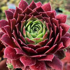 Sempervivum succulents are hardy plants that come in many forms and colors. Cactus, Garden Journal, Hens And Chicks, Hardy Plants, Botany, Houseplants, Perennials, Planting Flowers, Nature