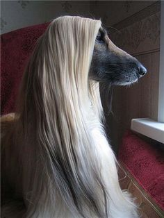 Afghan Hound with a beautiful coat. What's got their attention?