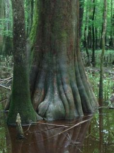 Congaree National Park, SC - Picture of Congaree National Park, Hopkins - Tripadvisor Temperate Deciduous Forest, Congaree National Park, Growing Tree, South Carolina, Wilderness, Trip Advisor, National Parks, Pictures, Photos