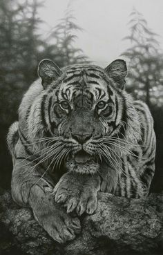 tiger lion hybrid pencil drawing dessin animal et felin