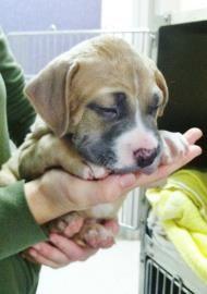 Adopt a Pet Willie Alpharetta, GA English Bulldog