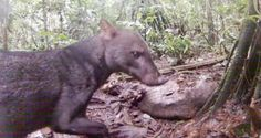 Extremely elusive jungle dog captured on camera by accident. The short-eared dog is rarely ever sighted, but a wary individual came in for a close-up on a trail camera originally set up for vultures. South America Animals, Latest Scientific Discoveries, African Wild Dog, Baboon, Wild Dogs, Wildlife Conservation, Biomes, Felt Animals, Black Bear