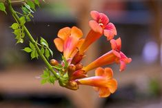 Trumpet vine (Campsis radicans) is a fast-growing perennial vine. Growing trumpet vine creepers is really easy and, with adequate care and pruning, they can be kept under control. Full sun to part shade. Garden Seeds, Garden Plants, Growing Flowers, Planting Flowers, Clematis Viticella, Fast Growing Vines, Campsis, Climbing Vines, Flowering Vines