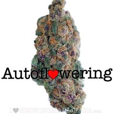 Blueberry Autoflower. Contains solid therapeutic properties for medicinal clients. Blueberry has a relative high CBD level making this strain appropriate for therapeutic employments. CBD is accepted to have hostile to maniacal properties, lessening uneasiness and frenzy responses to THC.