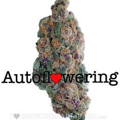 Blueberry Autoflower