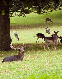 Deer relaxing in the Park