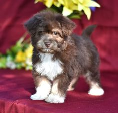 #Darling and #Cuddly... 🌻❣️This adorable #Havanese puppy named Clay will bring lots of smiles into your life! He enjoys people and all the attention he can get.🐶 #Charming #PinterestPuppies #PuppiesOfPinterest #Puppy #Puppies #Pups #Pup #Funloving #Sweet #PuppyLove #Cute #Cuddly #Adorable #ForTheLoveOfADog #MansBestFriend #Animals #Dog #Pet #Pets #ChildrenFriendly #PuppyandChildren #ChildandPuppy #LancasterPuppies www.LancasterPuppies.com Havanese Puppies For Sale, Havanese Dogs, Cute Baby Dogs, Cute Babies, Lancaster Puppies, Puppy Names, Animals Dog, Mans Best Friend, Adorable Animals