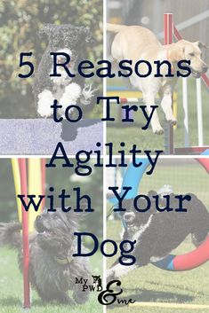 There are many reasons to try agility with your dog. Check out the 5 Reasons To Try Agility that Miss Millie and I had. We are loving every minute of agility together!