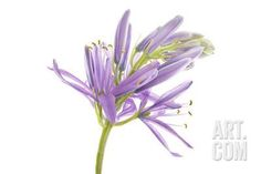 A Purple Puschkinia Flower, Puschkinia Species Photographic Print by Robert Llewellyn at Art.com