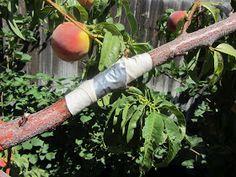 fixing split limb, fruit tree repair, Mashed Potatoes and Crafts, orchard, peach tree, repairing broken tree limb, How to,