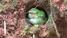 Crías de San Pedrito abandonan el nido