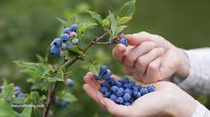 picking blueberries - Google Search