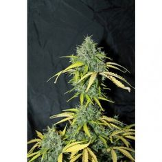 Buy Cannabis Seeds online from UK Seed Bank, The Vault Cannabis Seeds Store. Worldwide Shipping and Free Cannabis Seeds with all orders. Buy Cannabis Seeds, Cannabis Seeds Online, Seed Bank, Amnesia, Hydroponics, Herbs, Plants, Herb, Plant
