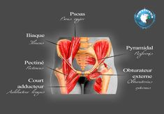 bassin muscle