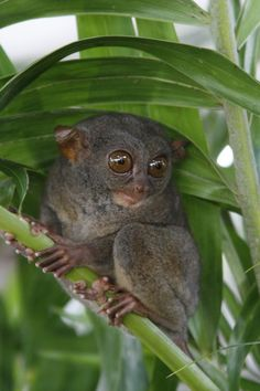 note how there is no real neck on a tarsier