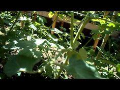 Tecnica impalcato e potatura pomodori