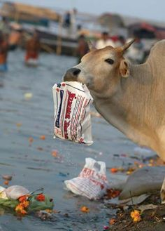 When animals eat plastic, it can damage their intestines.