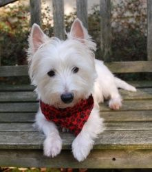 Duffy is an adoptable West Highland White Terrier Westie Dog in Garrett, IN.  Duffy is a 3 year old Westie boy who is a perfect gentleman and a love.  He is neutered, up to date on shots, microchipped...