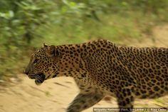 Wilpattu National Park, Sri Lanka (www.secretlanka.com) #SriLanka #Wilpattu
