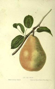 "Dix Pear, from ""The fruits of America"", 1853"