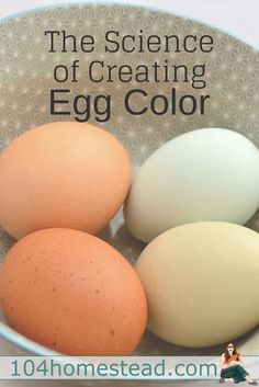 How do you mix breeds of chickens to get the egg color you want? As mentioned in The Anatomy of Egg Color, brown is merely a paint added to the shell towards the end off the laying cycle. Raising Backyard Chickens, Backyard Poultry, Keeping Chickens, Chicken Breeds For Eggs, Chicken Eggs, Urban Chickens, Fresh Chicken, Color Mixing, Real Food Recipes