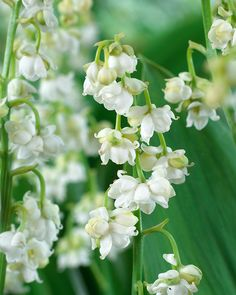 """Prolificans"" Lily of the Valley *The intoxicating Lily-of-the-Valley fragrance is one of spring's highlights, in the shade garden and in vases indoors. Flowers Perennials, Planting Flowers, Shade Garden, Garden Plants, White Flower Farm, White Flowers, Moon Garden, Birth Flowers, Woodland Garden"