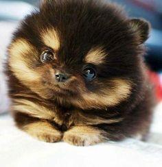 Black and caramel Pomeranian puppy. It's sooooooooooooo fluffy and cute with that little round face!