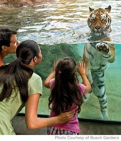 Parenting.com 's 5 Unforgettable Family Vacations.  This includes Busch Gardens in Tampa, because it has a 3-story jungle play area of mazes, ropes, and crawl tubes.  Kids can soar on a zipline, see orangutans, and even (if they're lucky) play tug-of-war with a tiger.  And then there's the rides, the African themes, and the colorful villages to explore. #FamTravel