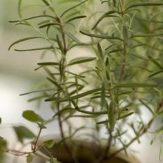 Root cuttings to grow additional rosemary plants.