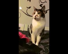 Cat takes offence via /r/gifs Funny Cats, Funny Animals, Animals And Pets, Cute Animals, Cat Memes, Funny Memes, Hilarious, Crazy Cat Lady, Crazy Cats